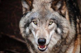 brown-wolf-682375